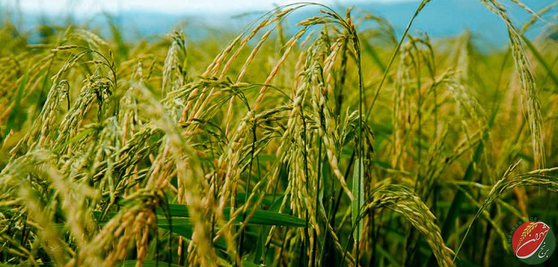 روایات متعدد در مورد برنج